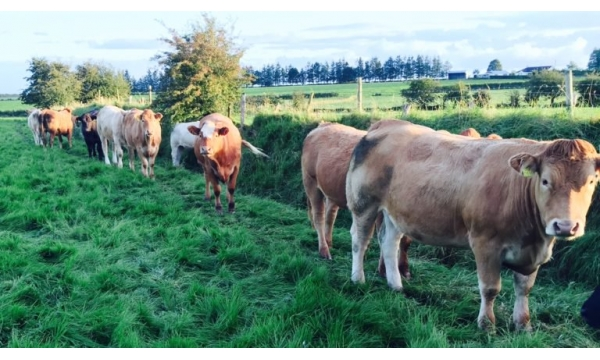 heifers-by-ditch-768x432